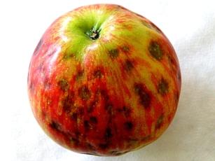 hořká pihovitost jablek_příznaky malá.jpg